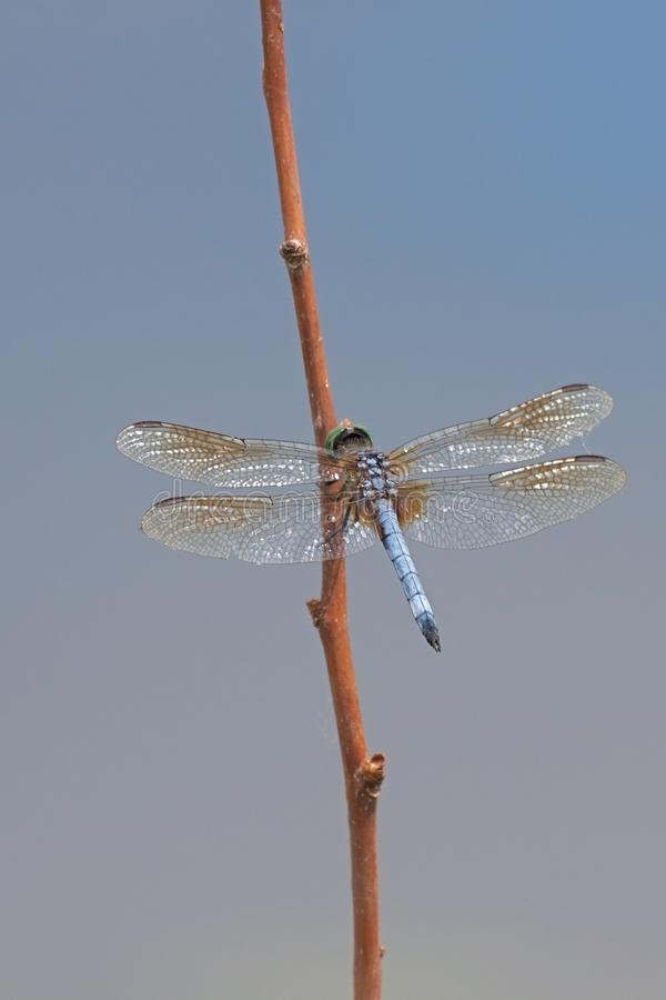 Open Winged Vibrant Blue Dasher stock photos