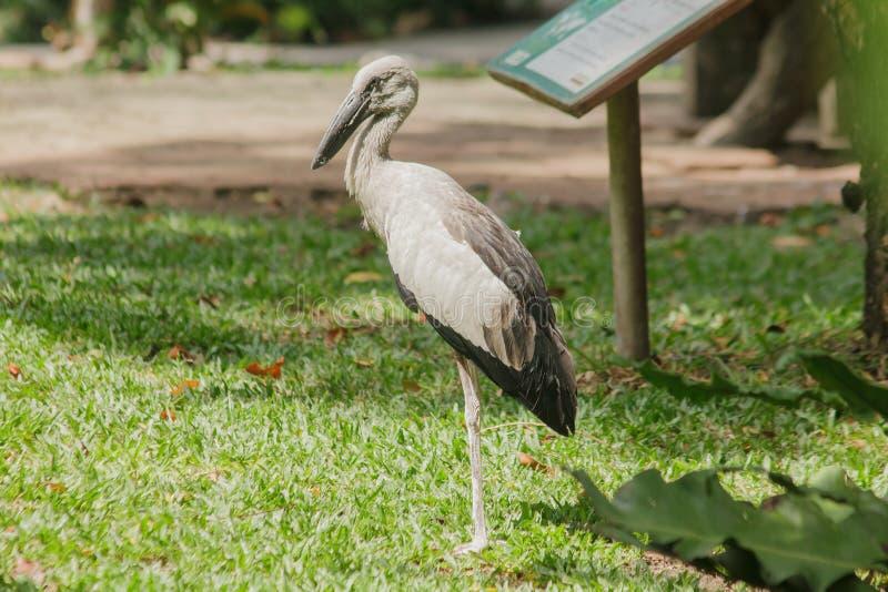Openbill bocian jest wielkim ptakiem który je zwierzęta obraz stock