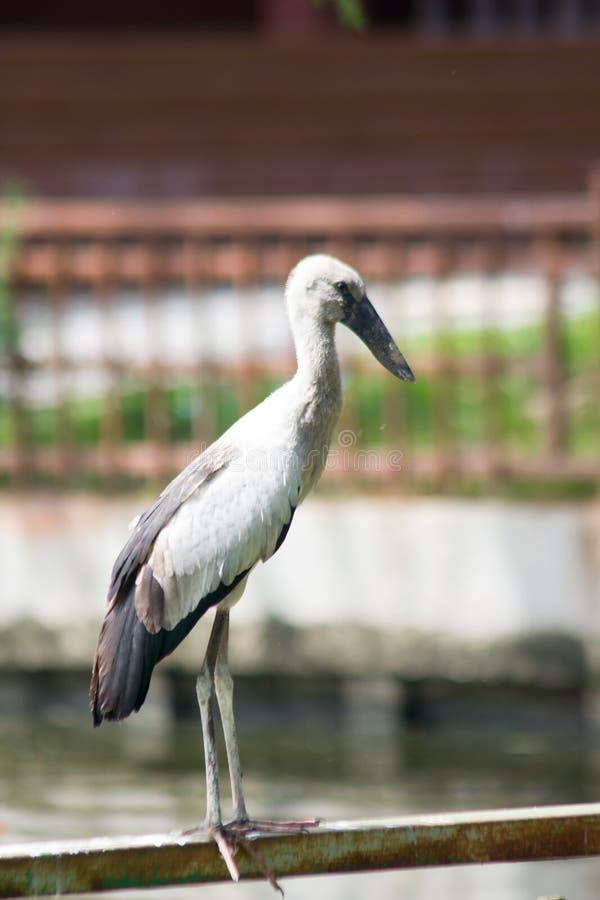 Openbill bocian jest wielkim ptakiem kt?ry je zwierz?ta obraz stock