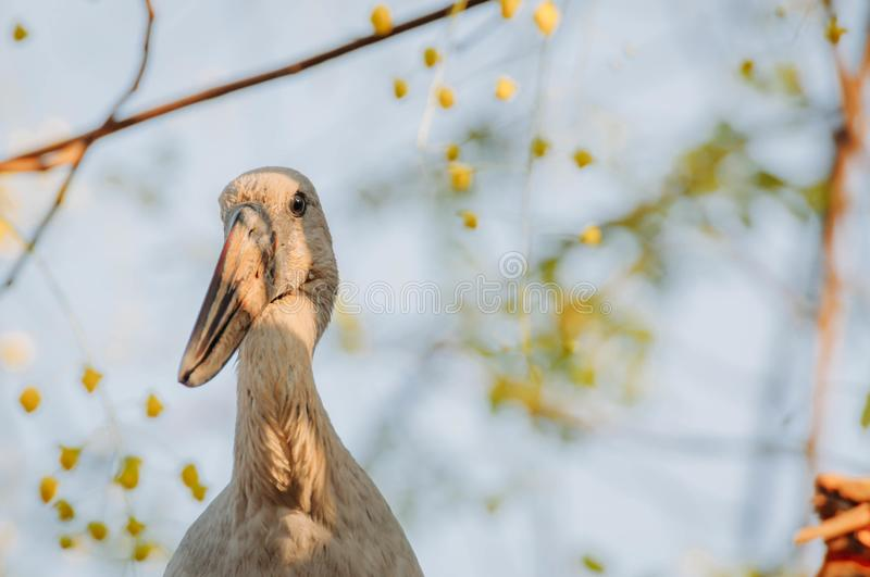 Openbill stork is looking something to eat in the afternoon stock image
