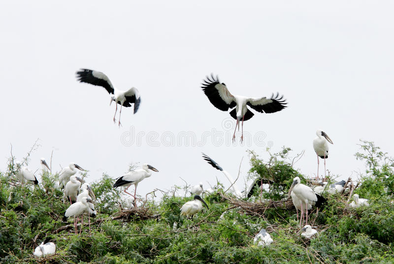 Openbill storks landing on the bush