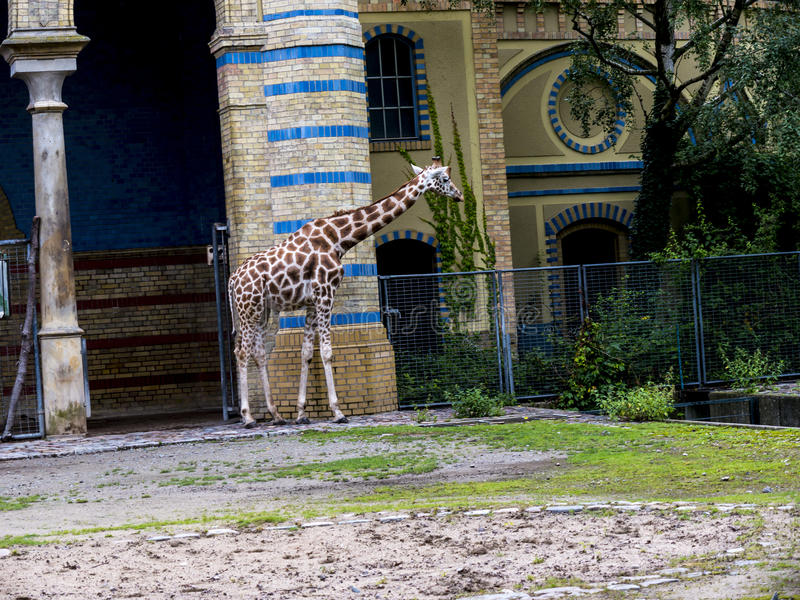 Giraffe in Zoological Gardens and Aquarium in Berlin Germany. The Berlin Zoo is the most visited zoo in Europe, stock images