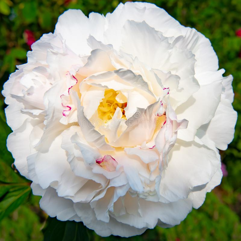 White peony - blooming white common peony - Paeonia officianles - flowering in garden at whitsun royalty free stock photos