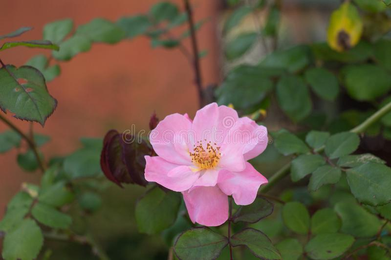 Opened bud of pink dog rose in a garden stock image