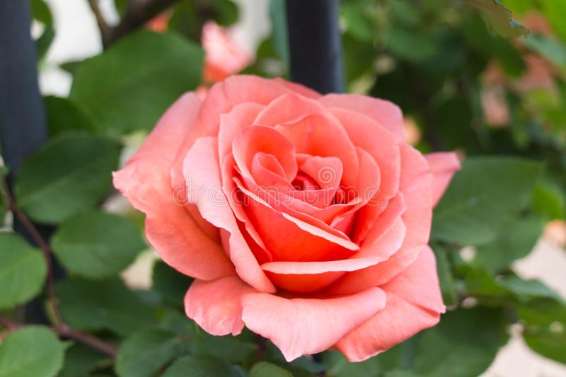 Opened bud of pink rose in a garden stock images