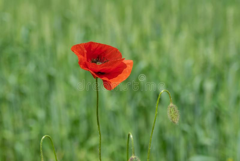 Opened bud of red poppy in wild field at summer time stock photo