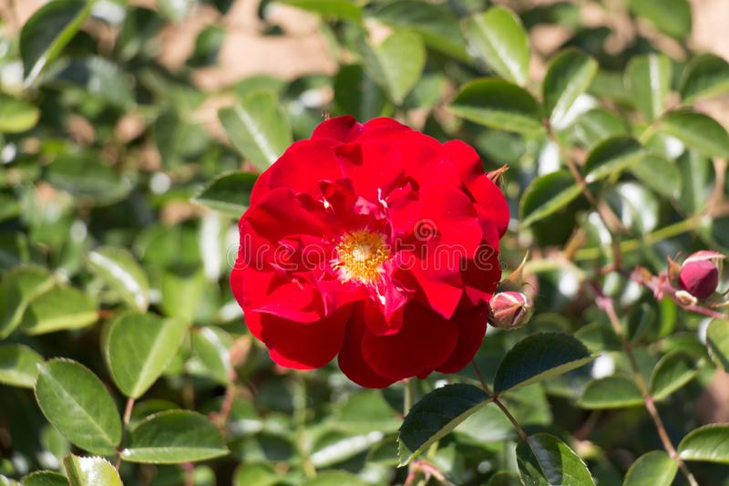 Opened bud of a red rose in garden. Top view royalty free stock photography