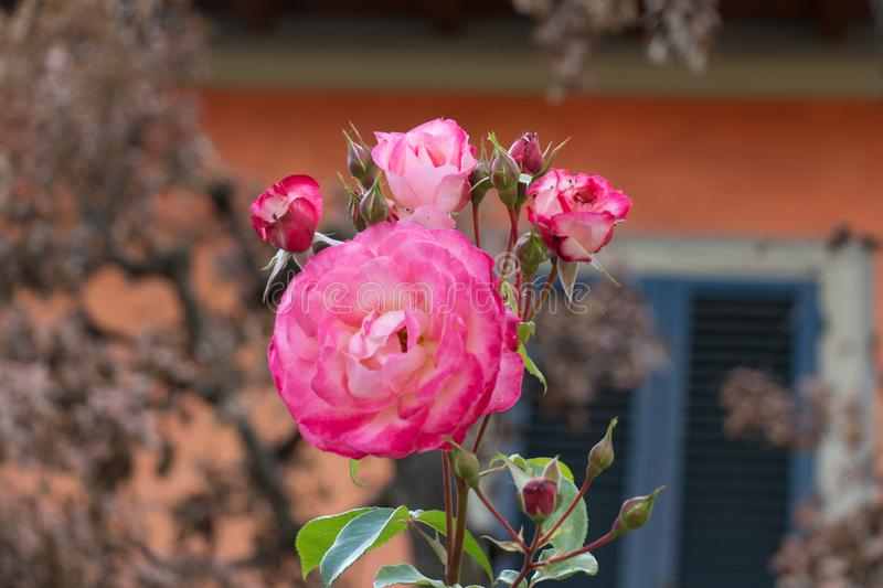 Opened buds of pink roses in a garden. Side view stock image