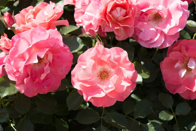 Opened buds of pink roses in a garden. Top view stock images