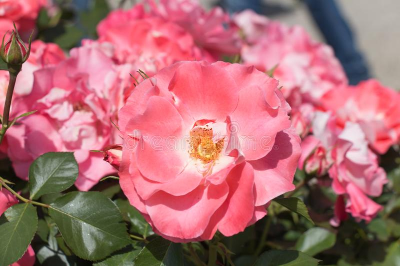 Opened buds of pink roses in a garden. Top view royalty free stock photos