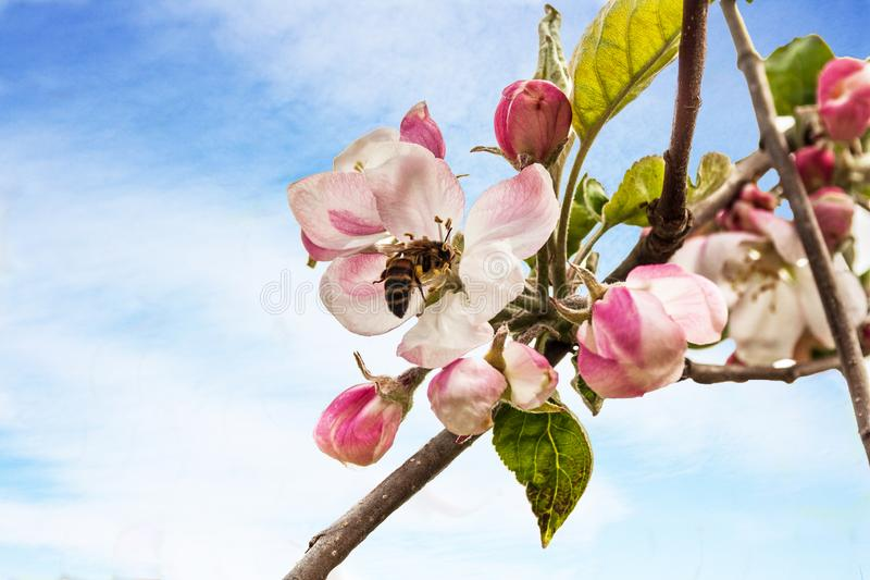 Opened flower and buds of Apple tree flowers, with insect, bee royalty free stock image