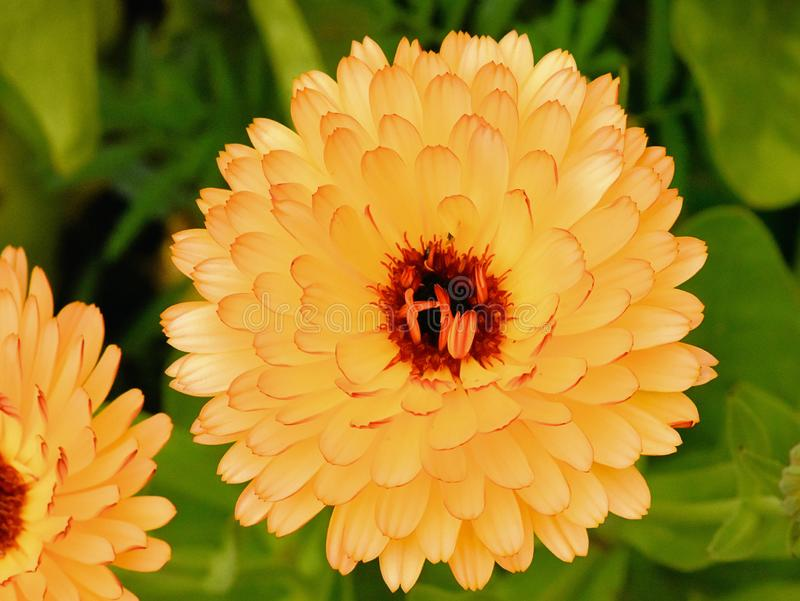 Opened Flower Heads of Marigolds Look Human Chakras. The gorgeous opened Golden Flower Heads of Marigolds Mimic The Chakras of the Subtle Body of the Human stock photos
