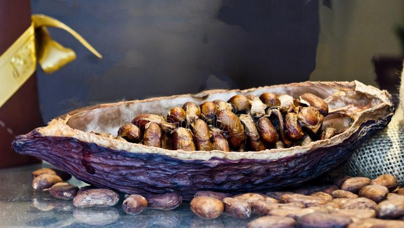 Opened halved cocoa pod. Open halved raw chocolate cocoa pod and seeds.  food iingredient agruculture colors brown deep red plant commodity stock photo