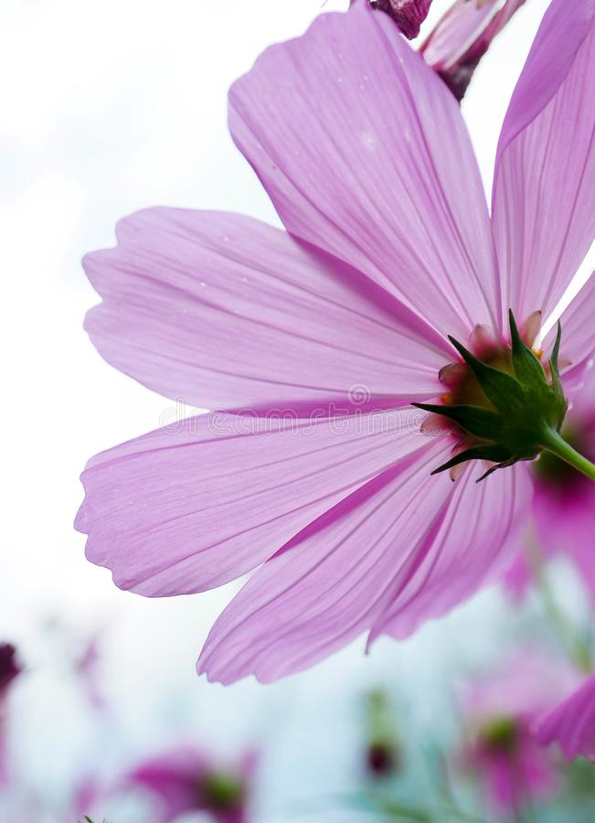 Good morning ..I am a little cosmos girl. Opened pink cosmos was saying good morning to the world was a beautiful shot from forest royalty free stock photography