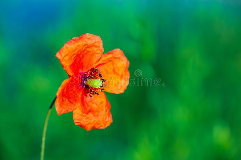 Opened poppy flower at fuzzy green background stock images