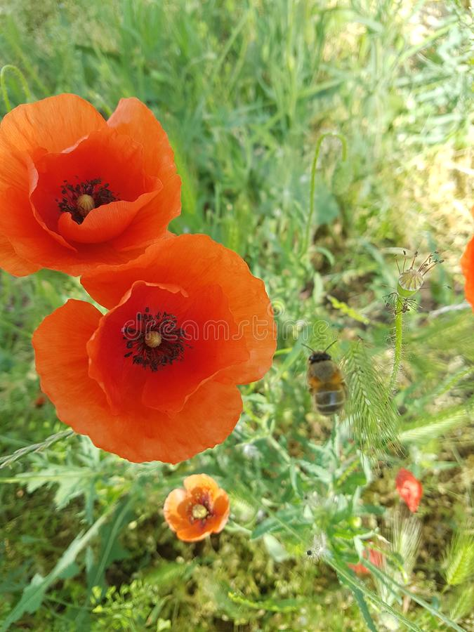 Opened red poppy flowers and a bee on a background of green grass stock photo
