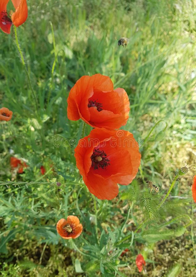 Opened red poppy flowers and a bee. On a background of green grass. Black stamens and poppy pods. Close-up stock image