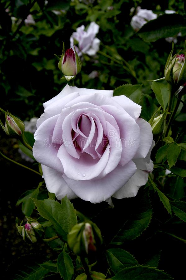 An opening perfect purple rose in all its splendor. stock photo