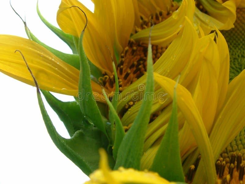 Opening sunflower stock photos