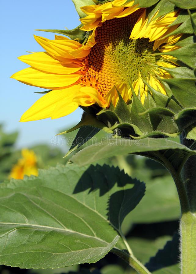 Download Opening sunflower stock image. Image of nature, happy - 25378975