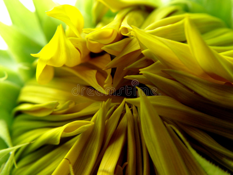 Download Opening sunflower stock photo. Image of natural, macro, detail - 44198