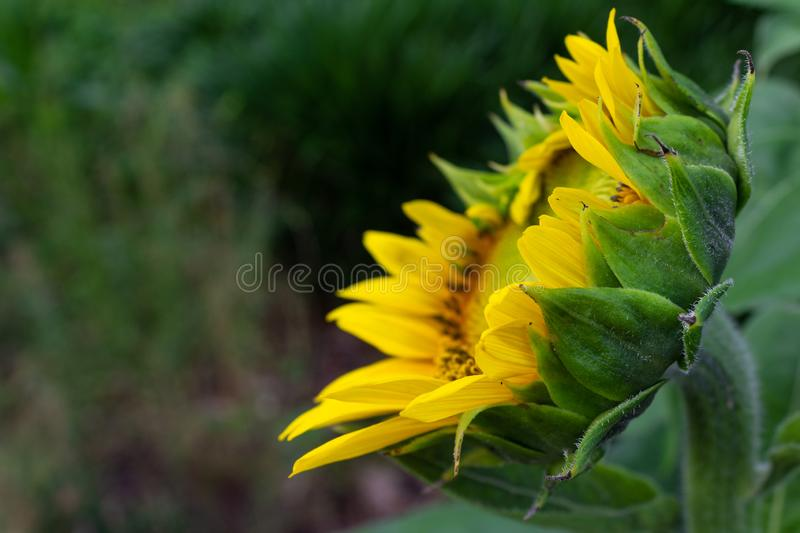Opening sunflower blossom side view, selective focus, copy space royalty free stock images