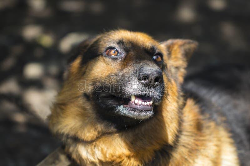 In openlucht ontschorsend woedend gemaakte herdershond De hond kijkt agressief, stock fotografie