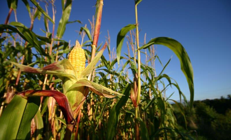 openned的玉米庄稼 库存照片