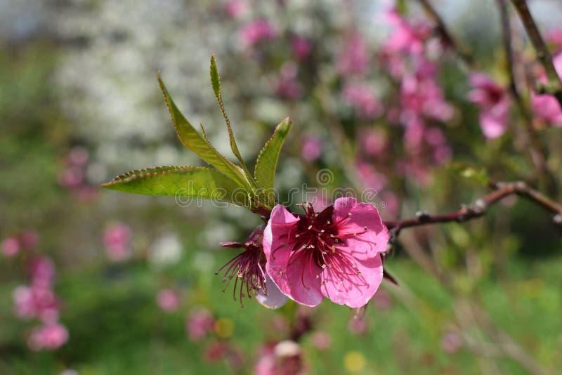 openning与精采红色的桃子开花 免版税图库摄影