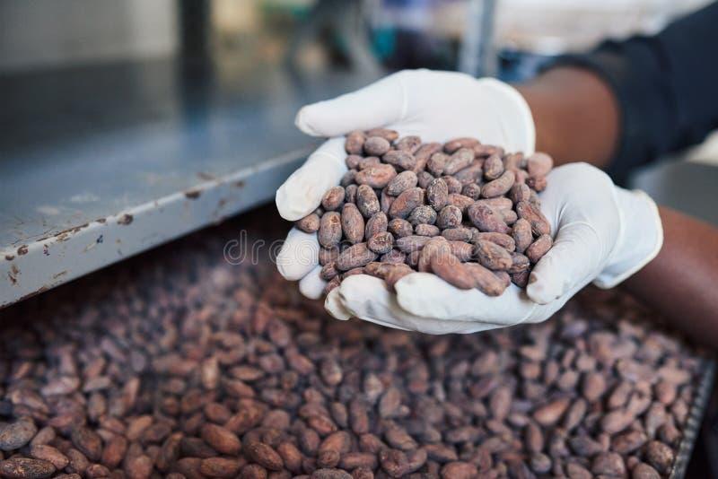 Operário da fatura de chocolate que guarda um punhado de feijões de cacau fotos de stock royalty free
