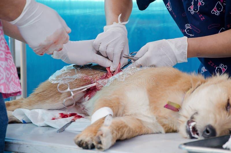 operación en perro fotografía de archivo