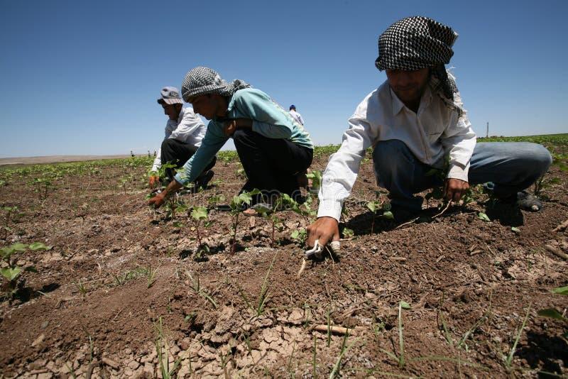 Operai agricoli arabi immagine stock libera da diritti