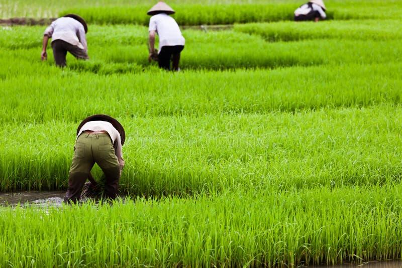 Operai asiatici sulla risaia di riso immagini stock