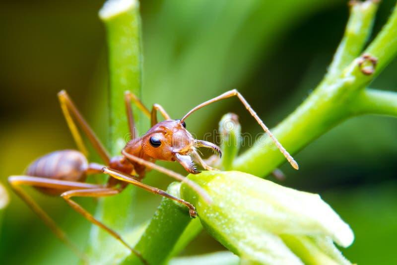 Operaio della formica di fuoco rosso sull'albero fotografia stock