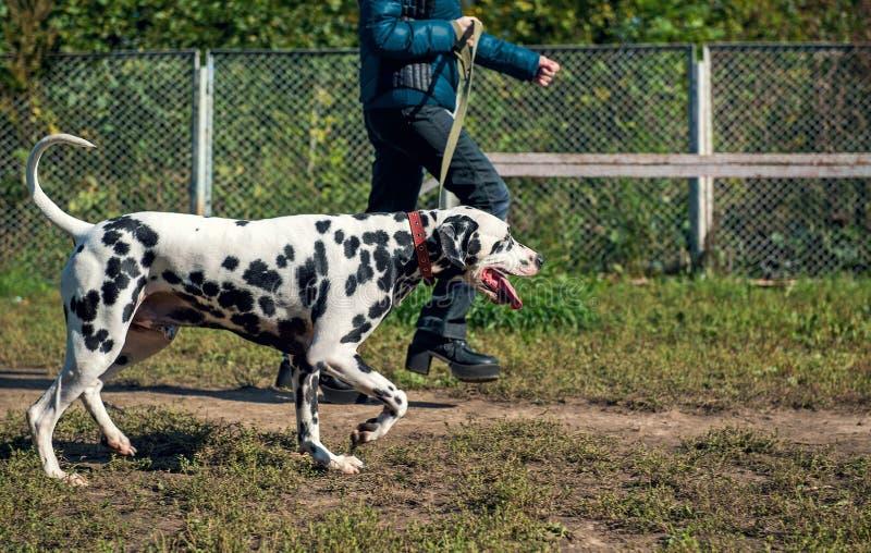 Operatore della ragazza e cane di dalmata fotografia stock libera da diritti