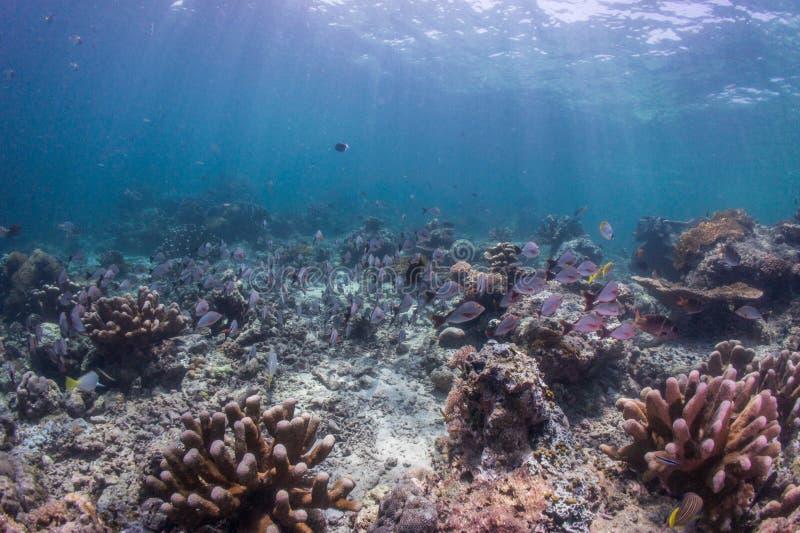 Operatore subacqueo di scuba con il banco dello snapper fotografie stock