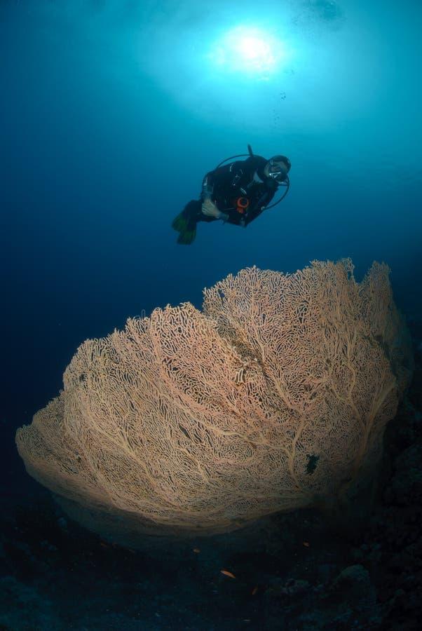 Operatore subacqueo di scuba sopra un corallo georgonian gigante del ventilatore fotografia stock