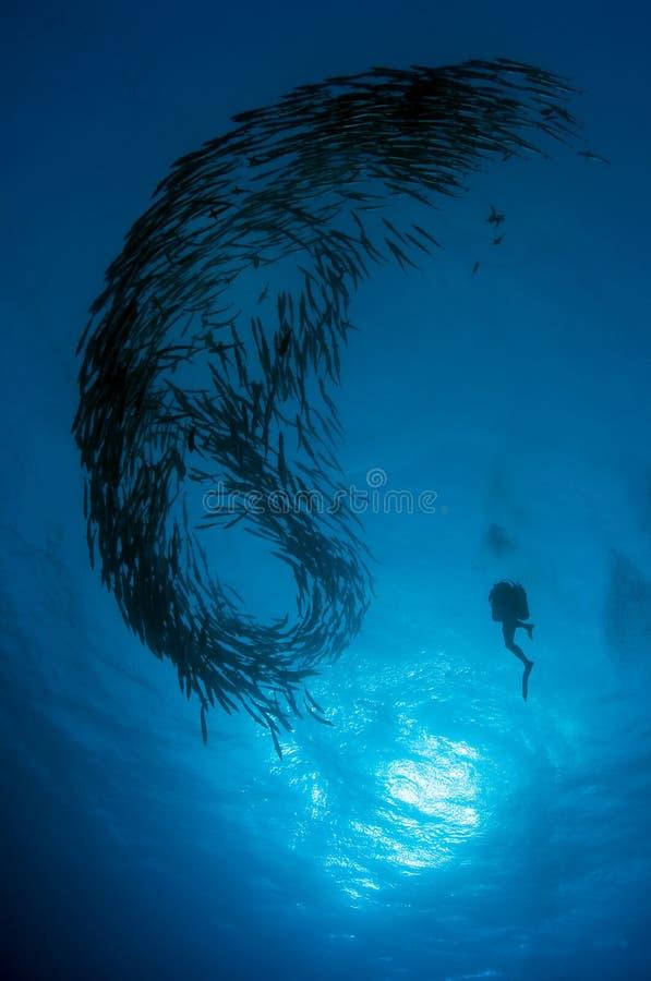 Operatore subacqueo e barracudas banco, Mar Rosso, Sudan fotografia stock