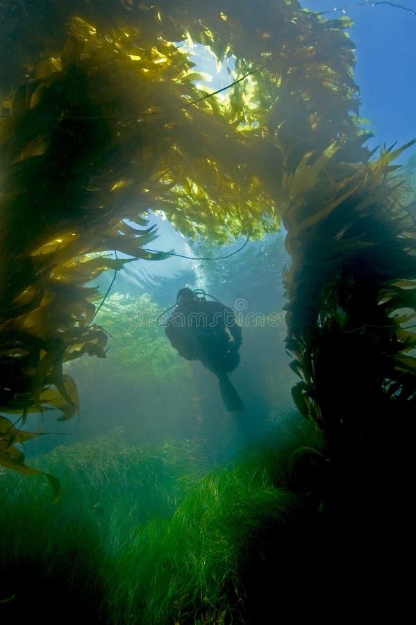 Operatore subacqueo in kelp fotografie stock