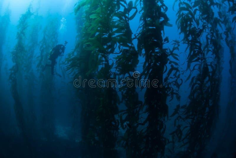 Operatore subacqueo nella foresta del fuco immagine stock