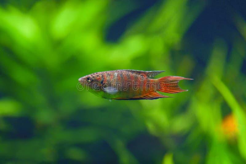 Opercularis de Macropodus A laranja ordinária do macropod dos peixes em uma listra cinzenta nada em um aquário transparente com p fotos de stock