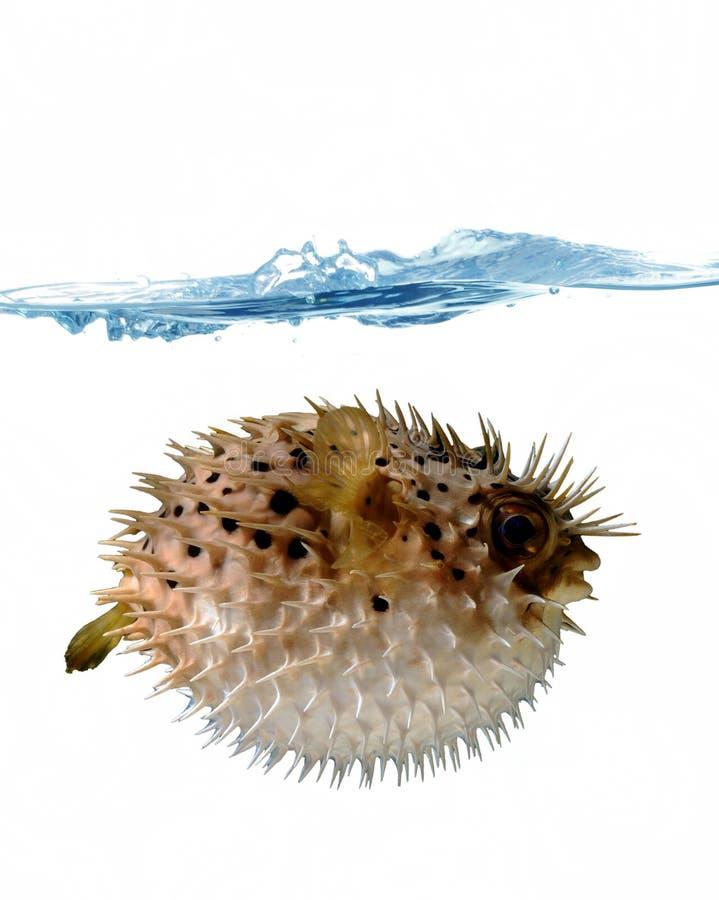 Opgeblazen - omhoog blowfish royalty-vrije stock fotografie