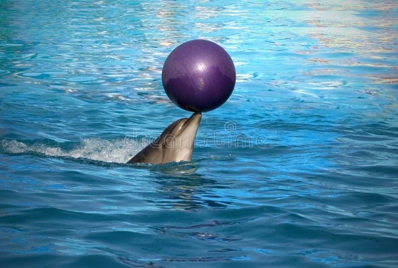 Opgeleide dolfijn stock foto's
