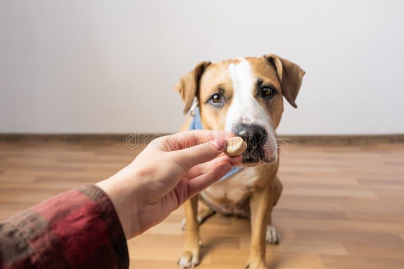 Opgeleide intelligente hond die voedsel van mens nemen De eigenaar geeft trea stock foto's