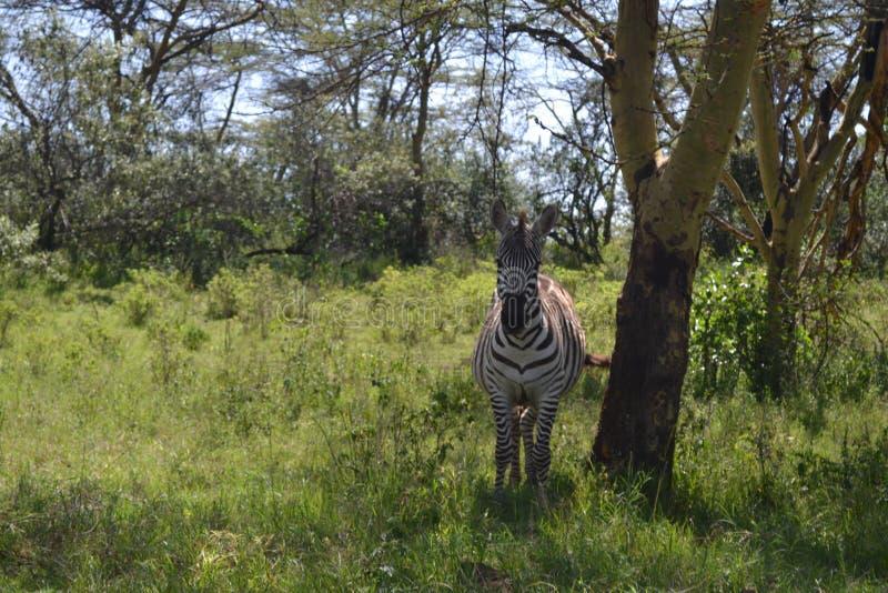 Opgeschrokken zebra royalty-vrije stock fotografie