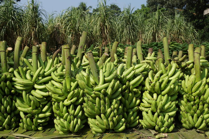Opgeslagen bananen royalty-vrije stock fotografie