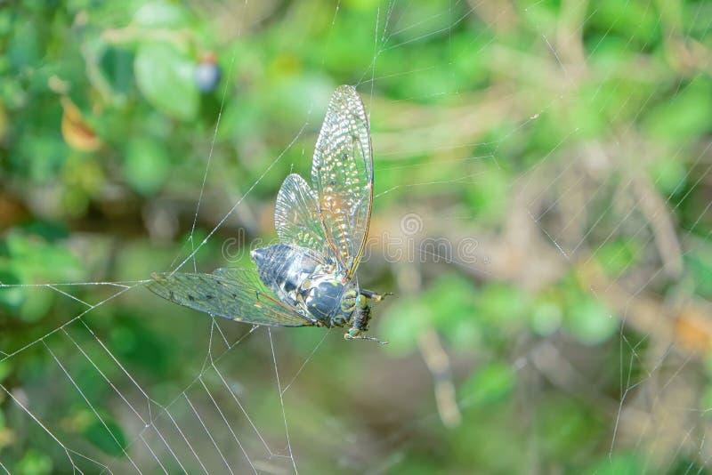 Opgesloten cicade stock fotografie