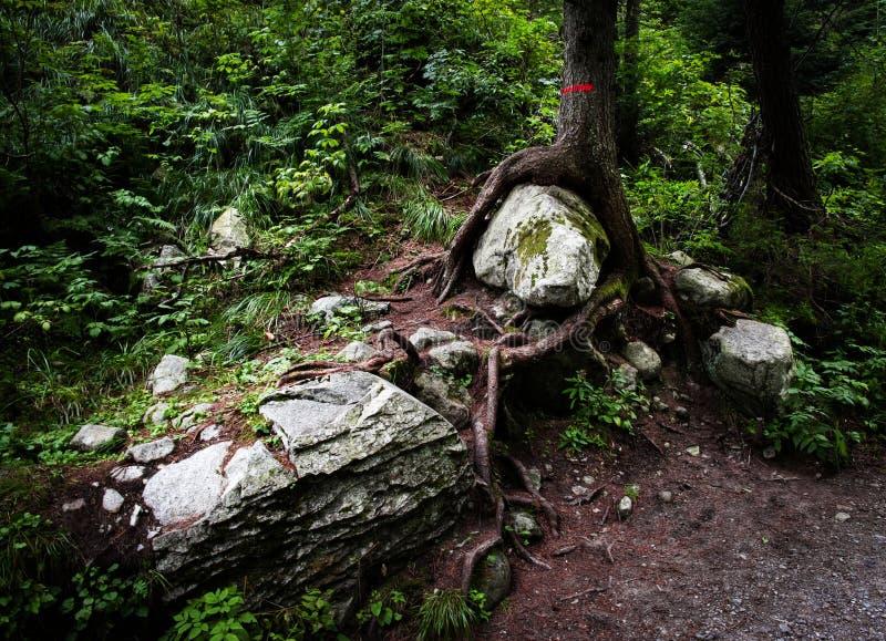 Opgesloten steen bij de wortel van een boom stock foto's