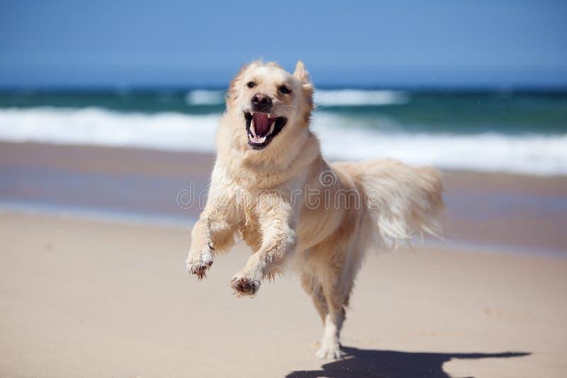 Opgewekte gouden retriever die op het strand loopt stock afbeelding