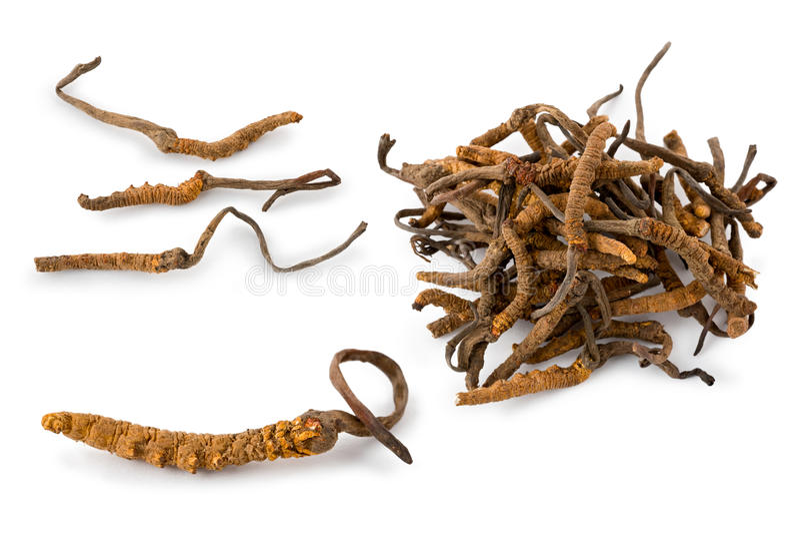 ophiocordyceps gąsienicowy grzybowy sinensis obraz royalty free